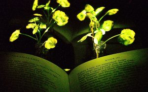 Kendi kendine parlayan bitki üretildi